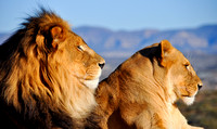 Lion and lioness profile