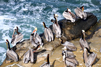 California Brown Pelican Flock