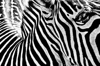 Plains zebra, black and white