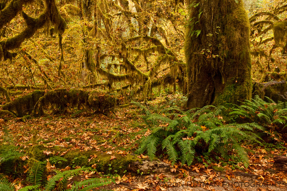 Hall of Mosses Trail, Hoh Rainforest