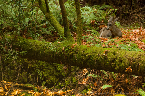 Black-tailed deer, Muir Woods
