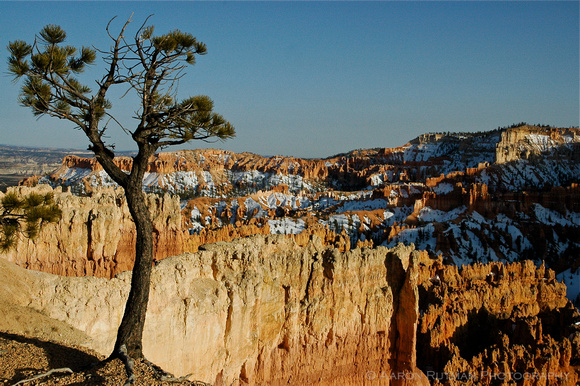 Lone tree over Bryce Canyon